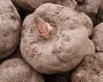 glucomannan Konjac root dieta